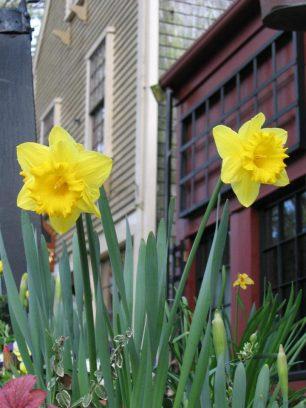 India Street Daffodils