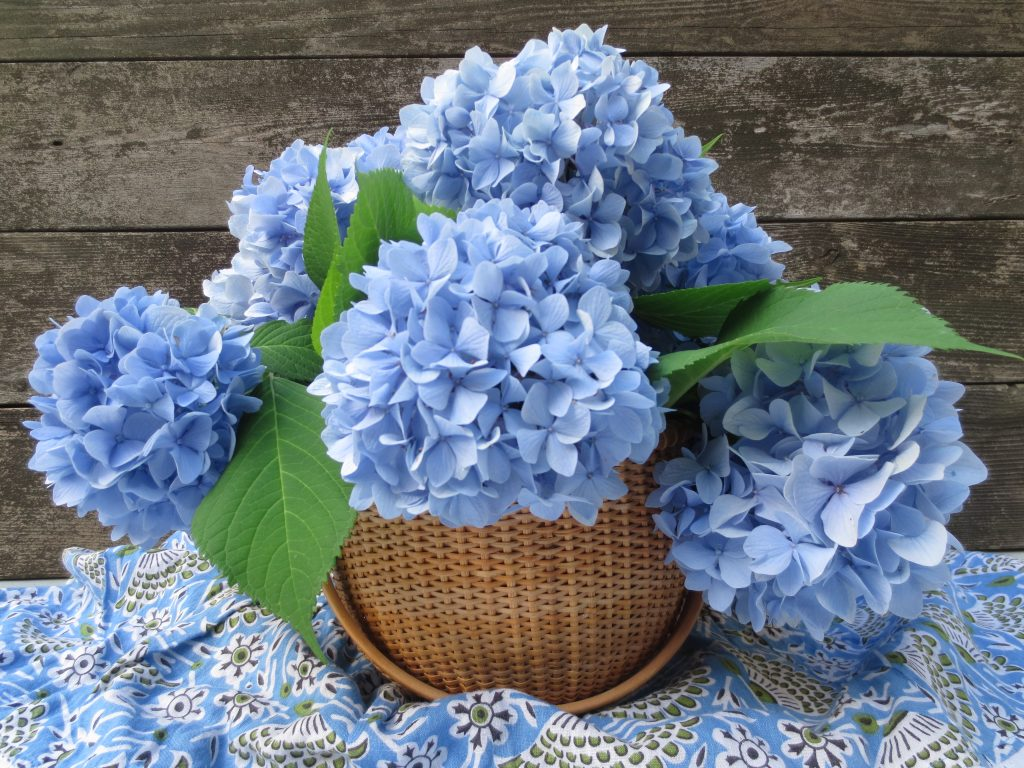 Endless Summer of Hydrangeas