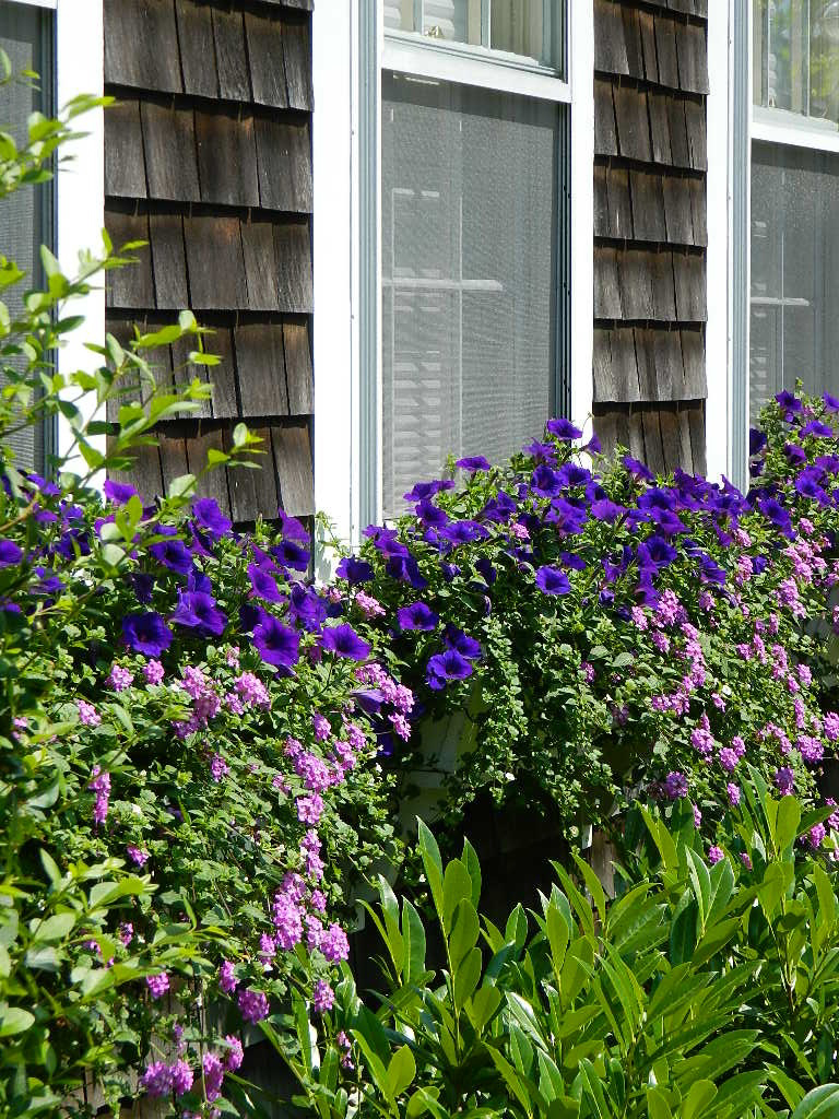 Nantucket Blooms