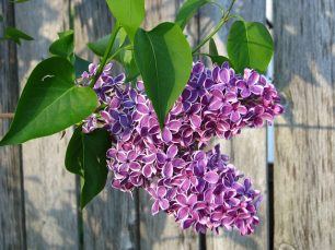 Lilacs in Blossom
