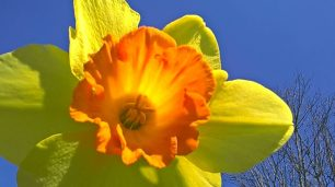 Nantucket Daffodil Festival – April 29 – May 1, 2016