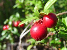 Nantucket Cranberry Festival